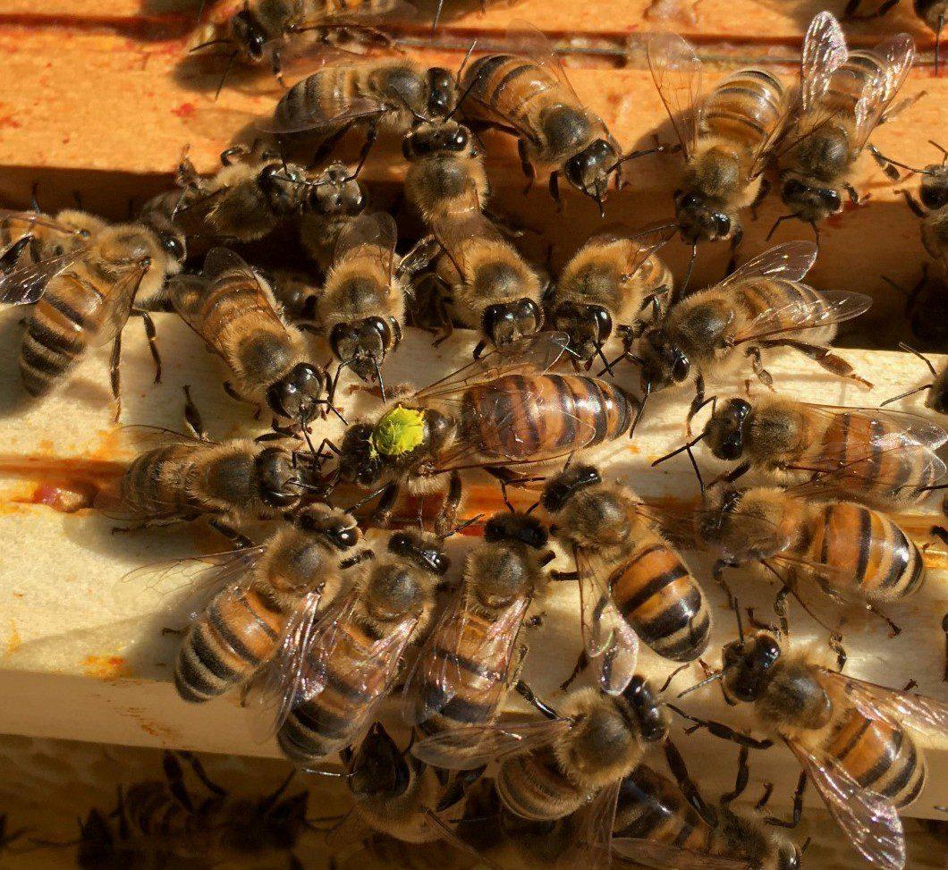 Elevage et vente d'essaims d'abeilles et reines Frère Adam Buckfast